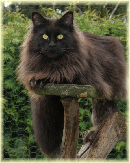 IVAN Doble Vision*Pl - kocur maine coon