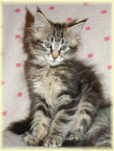 kotka maine coon