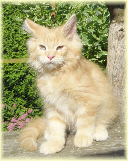 kocurek maine coon