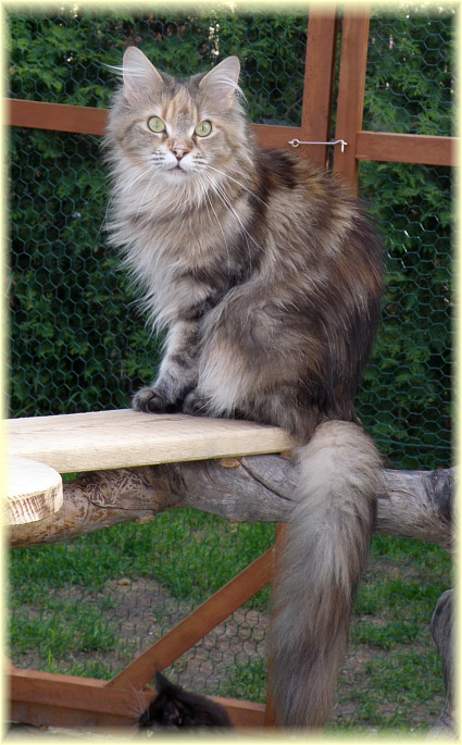 INEZ Maybach 2009 - kotka maine coon